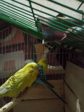 Best Parrots for sale with compromise
