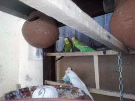 Australian Parrots are available at PASRUR