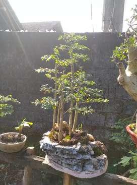 Bahan bonsai sisir hutan