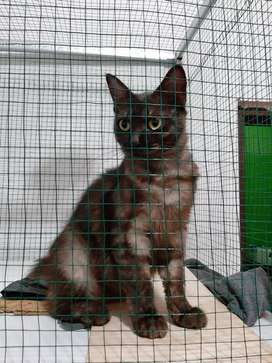 kucing persia medium 10 bulan