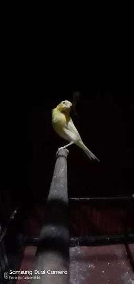 Kenari paud JAHAT Loperr kuning podang full masteran love bird