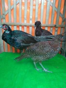 Ringneck pheasant ayam hutan tibet