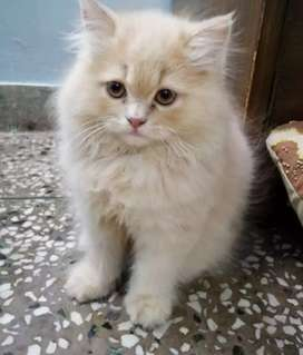 Pure breed persian cat for sell.