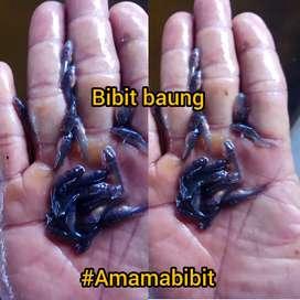Bibit ikan Baung