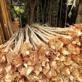 Tanaman bambu jepang/pohon bambu jepang