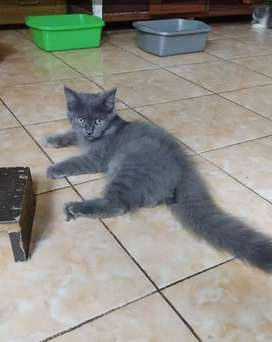 Kucing persia medium blue solid