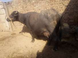 Second timer Buffalo for sale!
