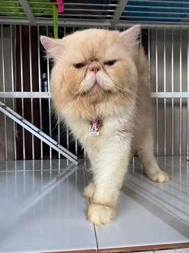 Kucing persia Peaknose jantan Birahi Biasa untuk jasa pemacakan