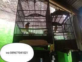 Burung murai ,900 rb aj