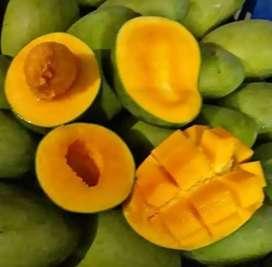Mangga klonal(mangga alpukat)