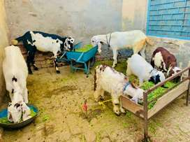 Goats Neat and Clean in Bhangali Gujar