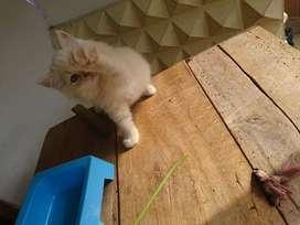 Persia kitten medium