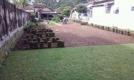 Tukan Rumput Hias Gorontalo