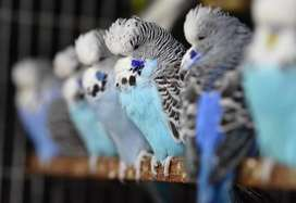 Quality Exhibition budgies looking for new shelter