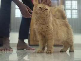 orginal persian cat