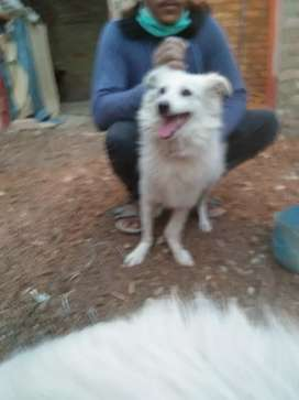 Russain male pup aval age 7 months extreme quality fur i