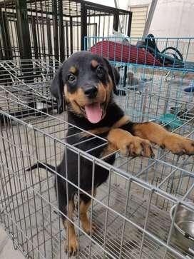 Dijual Rottweiler Betina umur 2 Bulan Big Bone Big Size