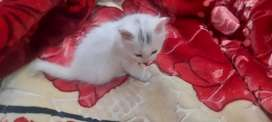 Persion kitten for sale