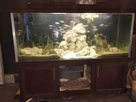 113 Gallons 5Feet Wooden  planted Aquarium in Immaculate Condition.