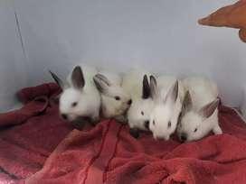 Kelinci hias himalayan mini