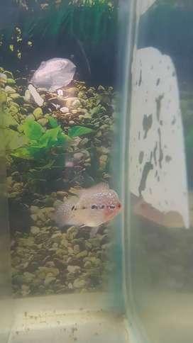 Ikan louhan ukuran 4cm an
