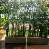 pot 1 meter dan tanaman bambu air