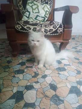 White and  persian male final price