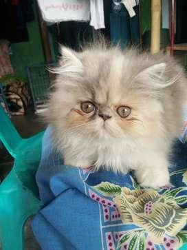 Kitten peaknose 2.5 bln termurah