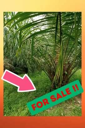 Kebun Sawit Produktif 70 hektar, Bagus, Di Pandeglang Dijual Murah