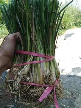 Pusat Bibit Tanaman Vetiver Akar Wangi Rumput Penahan Tebing Longsor