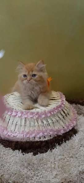 Pure breed persian cat for sell