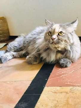 Persian cat female very charming.