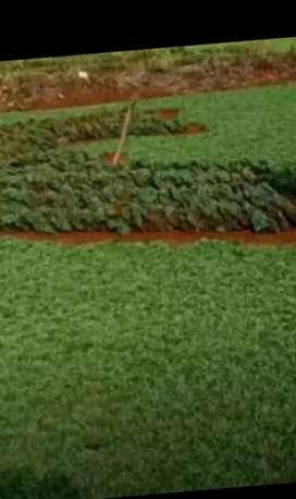 Rumput gajah mini+ tukang taman
