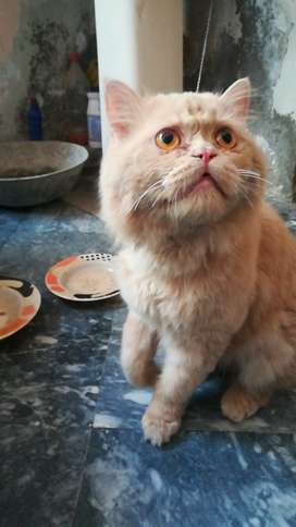 Very pretty punch face persian cat