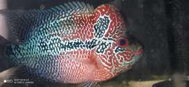 Flowerhorn SRD,available at good price with good bloodline