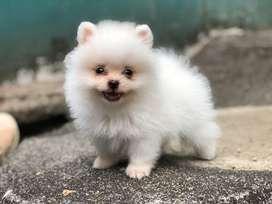 anjing minipom pomerian jefra petshop