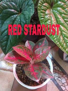 Tanaman Hias aglonema aglaonema Adelia, Red Stardust, Tiara, moonlight
