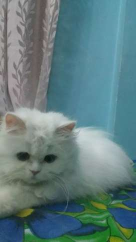 White Persian cats pair for sale