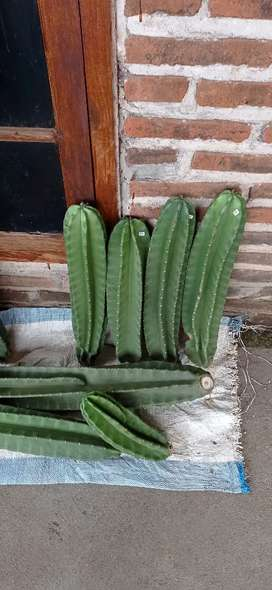 Kaktus koboi tidak berduri