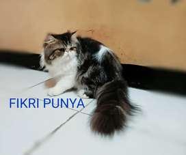 Kucing Persia Peak Nose Extreme Longhair