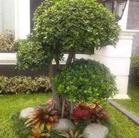 Buat taman murah tukang taman dan rumput jual bonsay beringin Korea