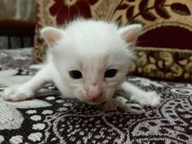 Persian cat for sale