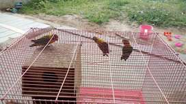 Burung lovebrid 3 ekor fullset