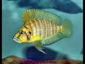 """Altolamprologus Compresscieps Gold Head Muzi Cichlid 2"""""""