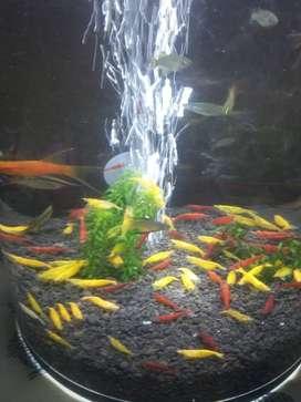 Udang hias. Yellow shrimp, bloody marry