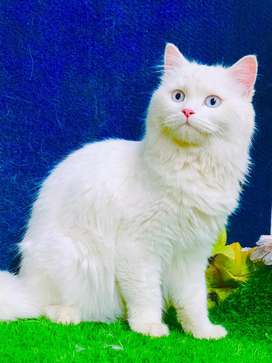 persian blue eyes female on heat