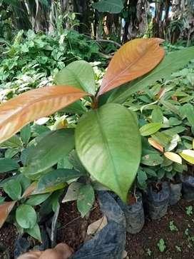Bibit tanaman manggis
