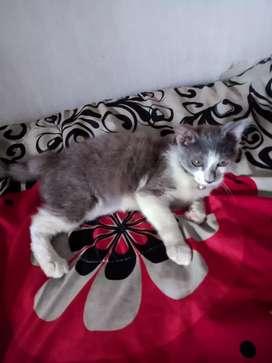 Jual kucing Persia mixdom