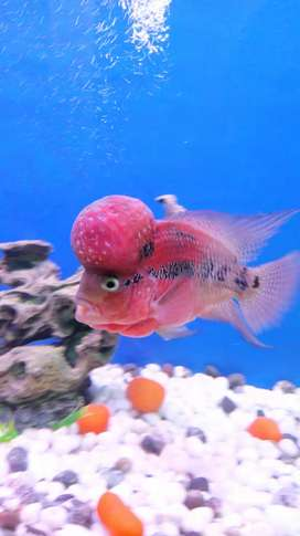 Flowerhorn fish(super red dragon)