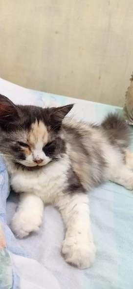 Lepas Adop Kucing Persia